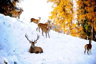 Im Winter braucht das Rotwild vor allem eine Sache: Ruhe.