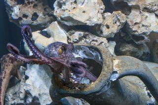 Eröffnung der neuen Mittelmeerabteilung im Haus des Meeres: Die Oktopusse haben sich bereits eingewöhnt.