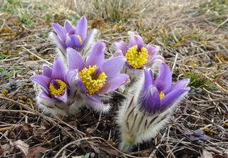 Die ersten Kuhschellen läuten in der Wachau den Frühling ein.
