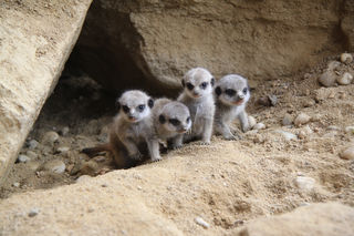 Bei den Erdmännchen im Linzer Zoo gibt es Nachwuchs.