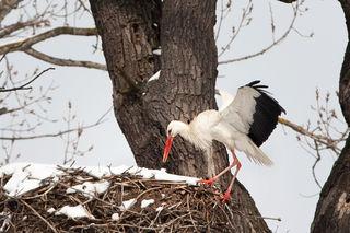 Fotocredits: Regina Courtier - so ein Storchenleben ist nicht einfach. Archivaufnahme vom März 2013.