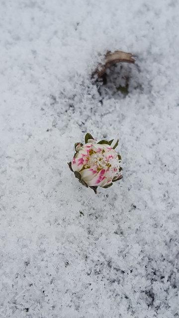 So zart und doch auch zäh: Tapfer kämpft das Gänseblümchen gegen all den Schnee.  Lässt sich nicht einfach so von dieser weißen Kälte beugen, will blühend doch vom nahen Frühling zeugen...