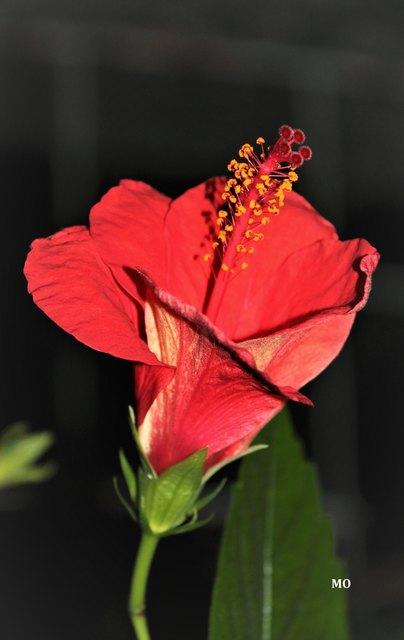 Frühlingsgrüße aus dem Botanischen Garten in Graz, Hibiskus mit roter Blüte aus dem Gewächshaus, Hibiscus rosa sinensis, Rosen-Ebisch, rose of china