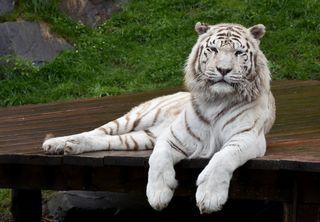 Die weißen Tiger: Eine der Hauptattraktionen (und Namensgeber) des weißen Zoos in Kernhof im Mostviertel