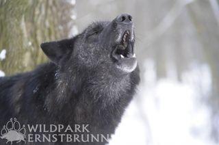 Wolfsforschung hautnah erleben. Einer der Gründe, warum der Wildpark Ernstbrunn unser Ausflugs-Tipp von Regionautin Kathi Jelinek ist.