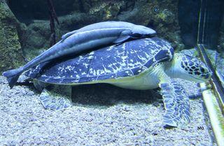 """Die Riesenschildkröte """"Puppi"""" im Aquarium mit ihrem ständigen Begleiter am Rücken, Haus des Meeres in Wien, Aqua Terra Zoo, Vienna"""