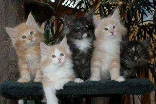 Mitmachen und gewinnen: Holt eure liebsten vor die Kamera! Schickt uns süße, schöne, schräge, spektakuläre Katzenfotos und gewinnt tolle Preise. (im Bild: unsere Norwegischen-Waldkatzen Babys 8 Wochen alt)