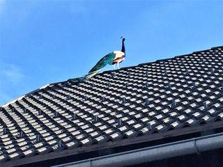 """Bei einen Ausflug auf dem Guggenberg zum Gast- und Bauernhof """"Waldemar"""" in Kreuth ob Möschach bei Hermagor entdeckte ich hoch auf dem Dach des Wirtschaftsgebäudes diesen tollen Pfau!"""
