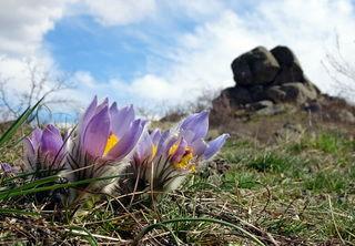 Die Kuhschellen blühen derzeit im Naturschutzgebiet Fehhaube-Kogelsteine.