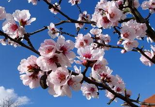 Die Mandelbäume faszinieren mit ihren rosa Blüten.