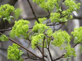 06.04.2018 vermutlich Spitzahorn - grüne Blüten zeigen sich!