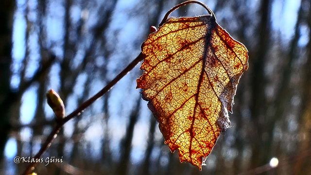 .......sogar ein verwelktes Blatt bekommt Schönheit....