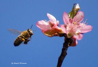 """Die Blüte der japanischen Kirsche ist Anfang April bei den Bienen ein beliebtes """"Reiseziel""""."""