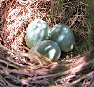 Direkt neben dem Garteneingang entdeckte ich zufällig dieses, mit türkisfarbenen Eiern belegte Nest, dass sich eine Amselfamilie im Fichtengeäst gebaut hat. Die 3 Eier werden jetzt vom Weibchen erwartungsvoll ausgebrütet. FORTSETZUNG FOLGT!!!