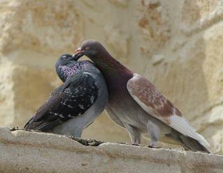 """Es heißt ja nicht umsonst """"Die sind verliebt wie zwei Turteltauben"""", denn besonders die Tauben die verliebt sind, """"SCHNABELN"""" sehr gerne!"""