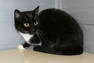 Die schwarz-weiße Katze Mona ist erst 10 Monate und schon kastriert. Da ihr Besitzer verstorben ist, musste sie ins Heim. Sie war bis jetzt eine reine Wohnungskatze. Mona ist freundlich und mag auch andere Katzen.