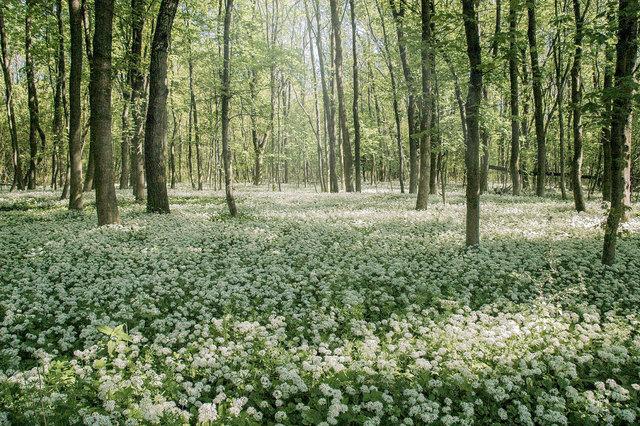 Ein schöner Anblick ist dieser Teppich aus Bärlauchblüten in der Korneuburger Au!