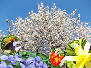 Der Kirschbaum im Nachbar`s Garten ein Traum in weiß