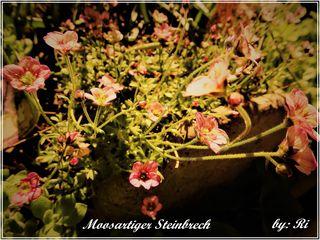 Der Moos-Steinbrech, auch Moosartiger Steinbrech genannt, ist eine Pflanzenart der Gattung Steinbrech in der Familie der Steinbrechgewächse. Das Epipheton leitet sich vom griechischen bryodes für moosartig ab und verweist auf den Wuchs.quelle wiki Nicht einmal 5 cm hoch sind die kleinen Blütenteppiche, die bei mir dankbar blühen und auch trotz ihrer Kleinheit sehr apart und dekorativ wirken.