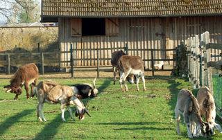 Ziegen, Esel und Hühner auf der Weide beim Franziskaner Kloster