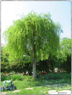Sie wird oft 2 mal radikal zurück geschnitten und so schön treibt sie immer wieder aus.Ich liebe diesen Baum!