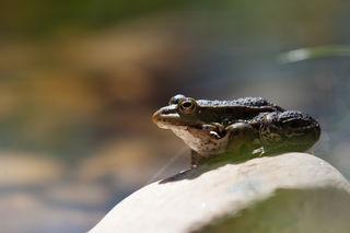 Fotocredits: Regina Courtier - Laut ist es endlich wieder in den Augebieten. Sonnende Frösche und jede Menge Zecken sind auch schon unterwegs - dennoch - traumhafte Wetterverhältnisse für Amphibien und Ausflügler!