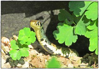 Habe sie heute entdeckt neben dem Gartenteich,sie war neugierig und scheu.
