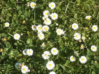 Gänseblümchen in unserm Garten