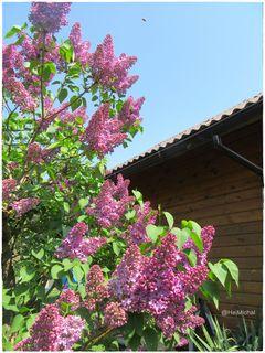 Der Flieder im Garten ist schon so herrlich und die Blüten beginnt sich gerade zu öffnen.