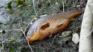 Der prächtige Fisch liegt tot im Schlamm. Das Wasser ist weg, der Teich im Reichenauer Kurpark wird saniert.