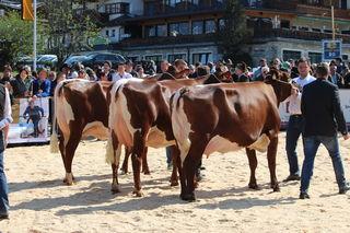 Osttirols Pinzgauer-Züchter mischten bereits im Vorjahr bei der Tiroler Landesschau mit.