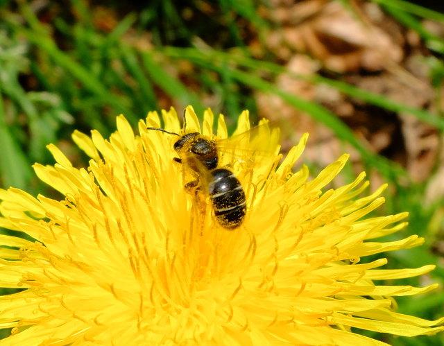 Furchenbiene © Gudrun Fuß