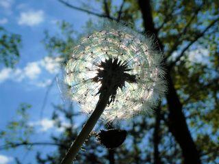 Eine von der Sonne in magisches Licht getauchte Pusteblume