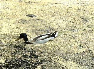 Auch eine Ente hat es bei so viel Blütenstaub schwer...