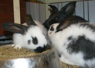 Kaninchenbabies: Im Tierheim warten insgesamt 9 Kaninchenbabies, die entweder schwarz oder weiß-schwarz gefärbt sind. Sie werden ausgewachsen zu richtigen Riesen, brauchen also ein großes Freigehege, viel Grünfutter und natürlich Artgenossen.