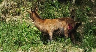 Das Bild zeigt eine der beiden schwer verletzten Pinzgauer Ziegen, zwei weitere Tiere wurden getötet. Vermutet wird erneut ein Wolfsangriff.