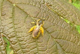 Die Hosenbiene - Bild 1