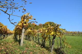 Die flüssigen Endprodukte hiesiger Weingärten stillen den Weindurst nur zu 70 Prozent.