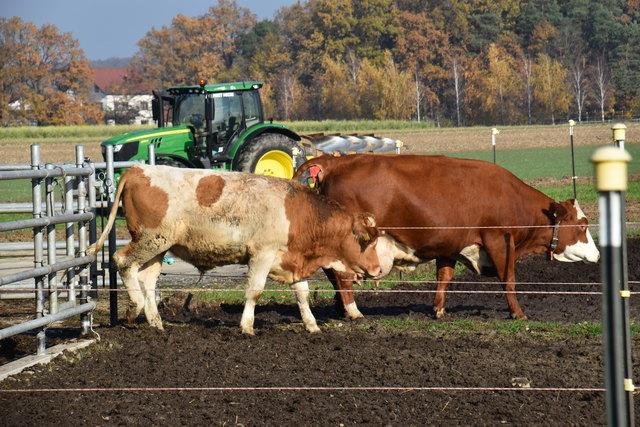 Südburgenländische Rinder decken den Rindfleischbedarf der drei südburgenländischen Bezirke nur noch zu 88 %.