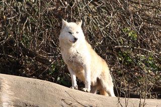 Der Wolfsverdacht konnte im Fall Pfarrwerfen durch die DNA-Probe vorerst nicht bestätigt werden.