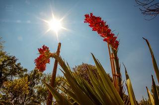 Nach 15 Jahren blüht die Doryanthes palmeri wieder. Bestaunt werden kann die spektakuläre Speerblume im Botanischen Garten der Universität Wien!