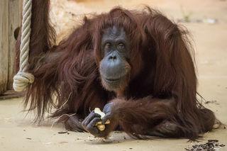 Nonja wurde im Tiergarten Schönbrunn geboren und lebte dort 42 Jahre lang.
