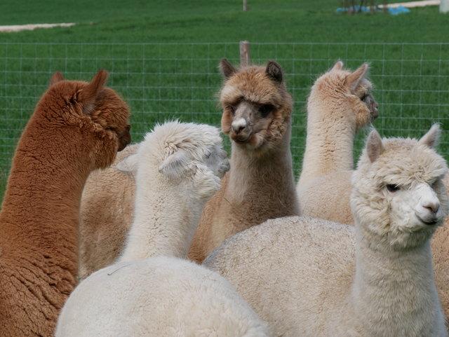 Aus zwei Herden wurde eine. Tag des Kennen Lernens. (C) AlpakaLaden