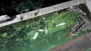 Fische verendeten durch das im Mühlbach befindliche Ammoniak