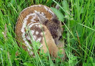 Gut versteckt und ohne Muckser liegt das Rehkitz im hohen Gras.