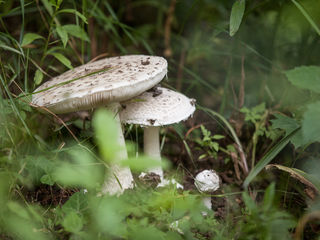 Fotocredits: Regina Courtier - Gewitter, feuchte Biotopränder machen's möglich - Schwammerln. Nur welcher Pilz ist das? Der Durchmesser vom Hut des größten Exemplares mißt 18,5 cm!