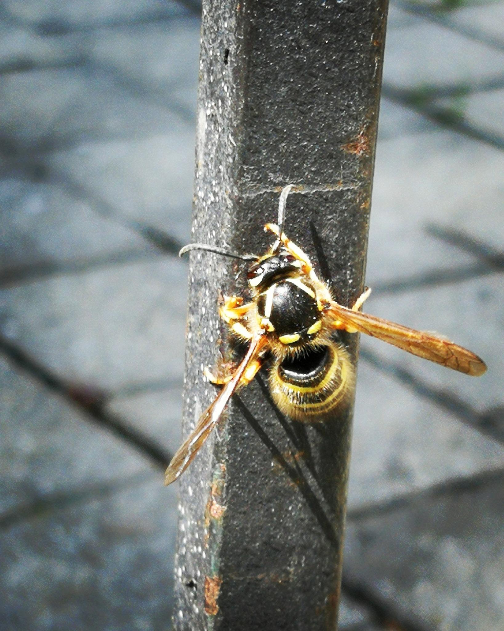 Wespe Biene
