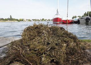 Die Mähboote sind ab sofort im Dauereinsatz und bringen die Unterwasserpflanzen zum Kompostwerk Lobau.