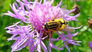 Wie die meisten Schwebfliegen-Arten ahmt auch diese hier ein gefährliches Insekt nach.