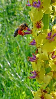 Eine Tracht-Biene im Anflug auf eine Schwarze Königskerze